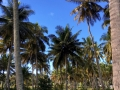 Coconut palms on Pig Island